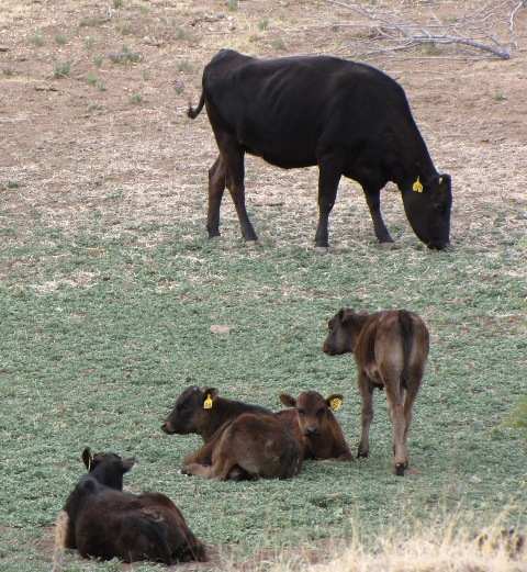 Wagyu Cattle and Calves on the Range